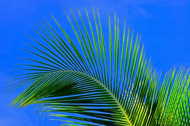 1-palm-tree-branch-st-lucia-chester-williams